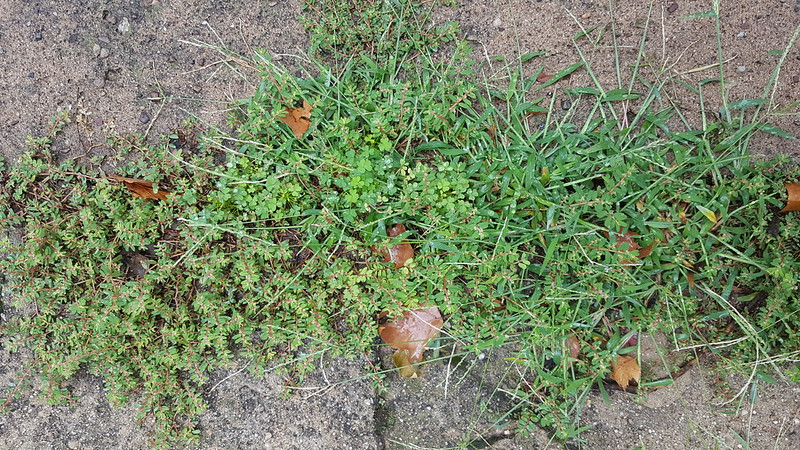 Weeds in my driveway, August 2018