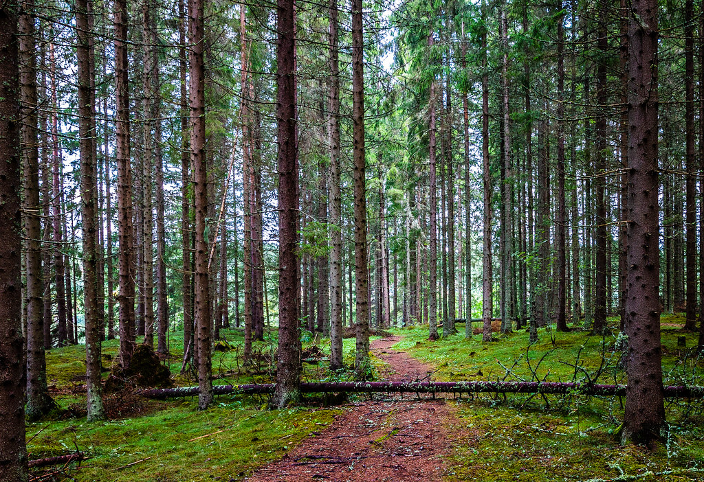 Path in spruce forest - version 2