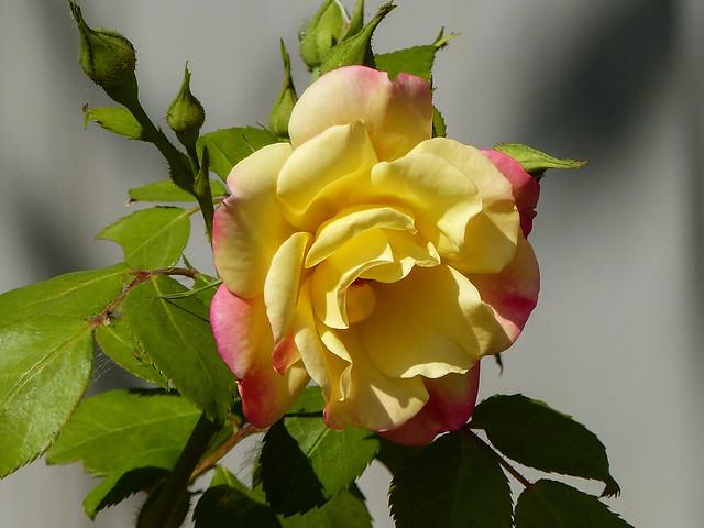 A southern Alberta rose