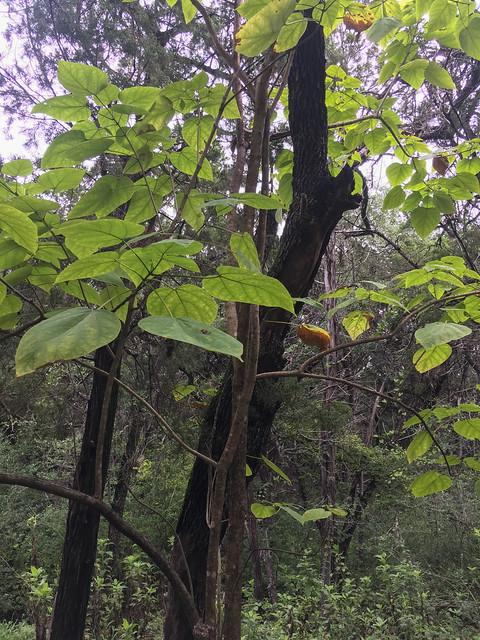 Southern Catalpa (Catalpa bignonioides) - 3