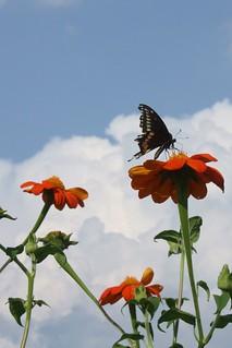 2018-9-21. Black Swallowtail 1