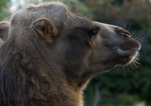 Bactrian camel , PWP, Broxbourne, Herts