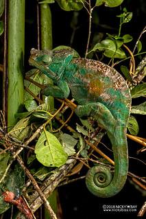 Parson's chameleon (Calumma parsonii) - DSC_0490