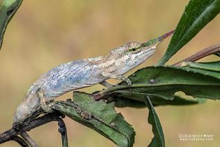 Blade-horned chameleon (Calumma gallus) - DSC_0919