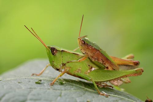 insect orthoptera acrididae gomphocerinae northcarolina piedmont sigma150mmexdgf28macro dichromorpha dichromorphaviridis shortwingedgreengrasshopper