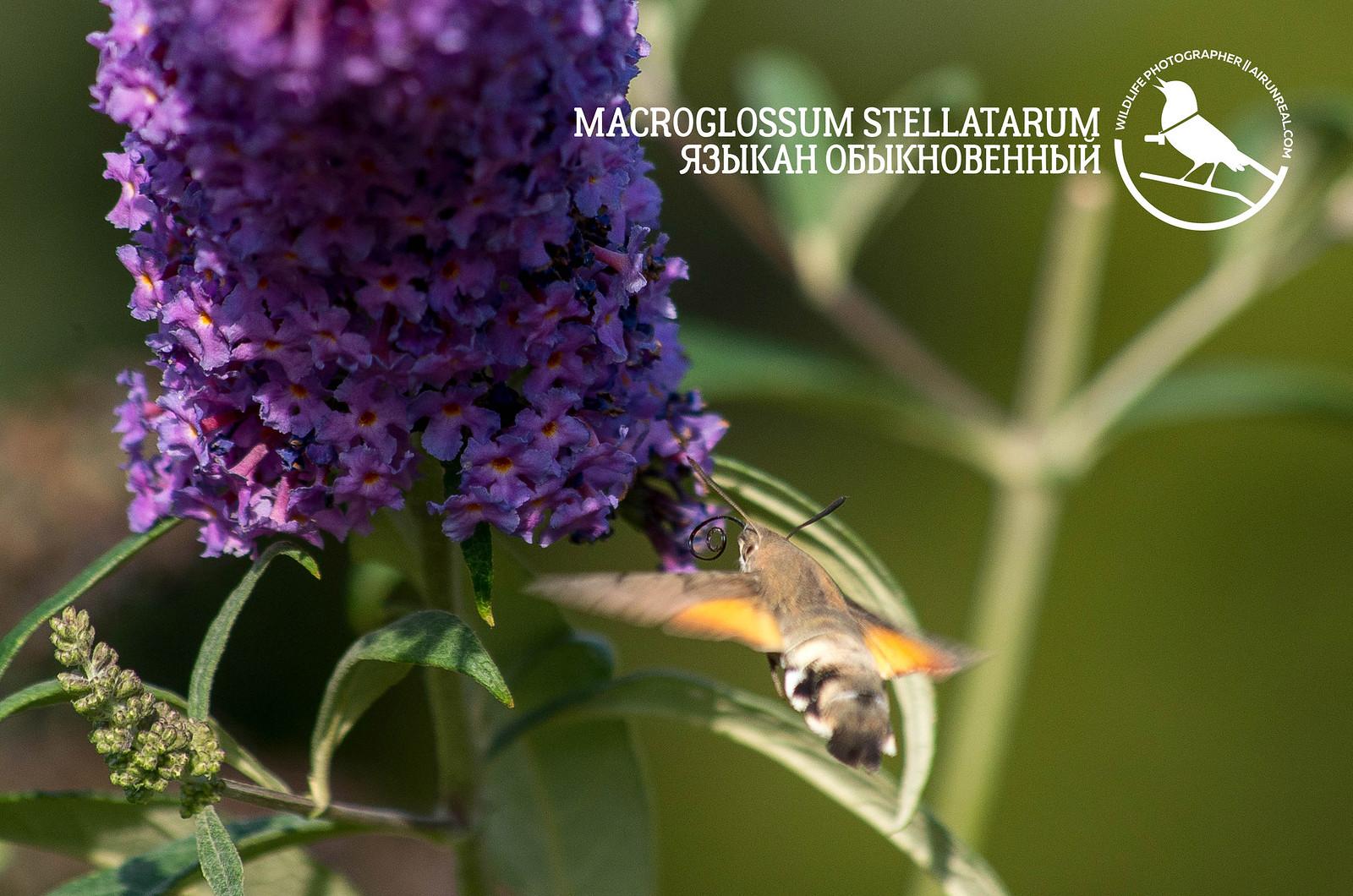 Macroglossum stellatarum // 20180915