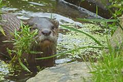 2018.06.19.059 CHAMPREPUS - Parc animalier - Loutre - Photo of Villedieu-les-Poêles