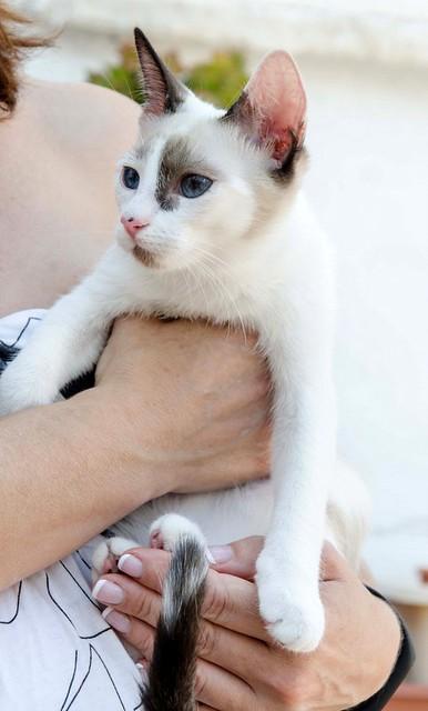 Bora, gatita Siamesa tricolor traviesa y monísima esterilizada, nacida en Marzo´18, en adopción. Valencia. RESERVADA. 30557108008_ecba8bd431_z