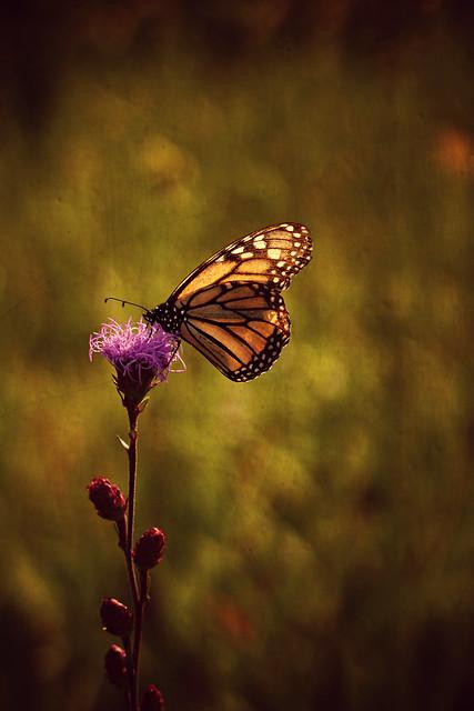 Monarch on Blazing Star