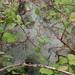 16.002 BF425 Orchard Ermine Yponomeuta padella 1130977