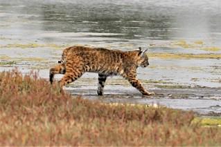 Lynx rufus californicus Bobcat #2