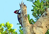 Carpintero Marcial, Crimson-crested Woodpecker (Campephilus melanoleucos)