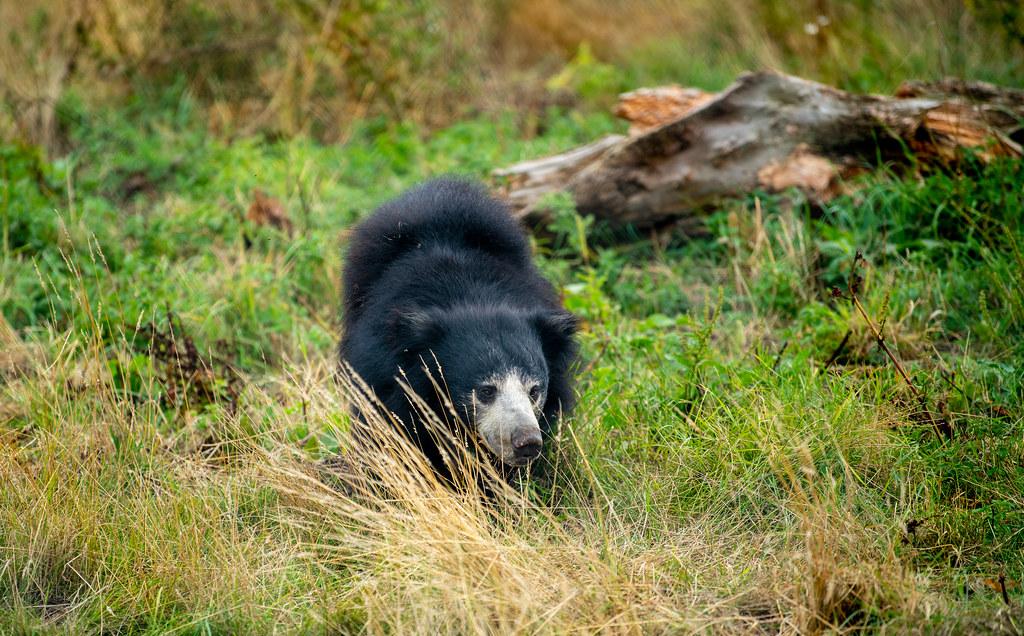 Sloth Bear_3