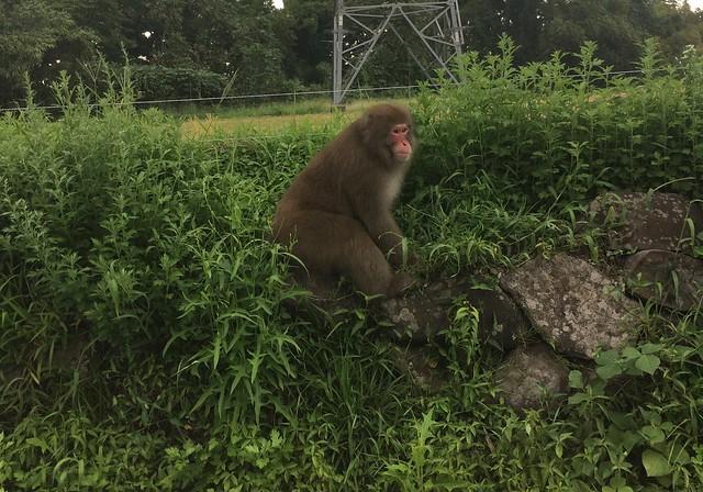通学路に日本猿!