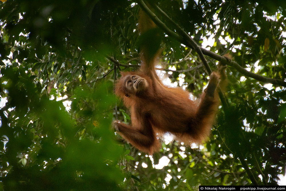 Ladies-orangutans from Sumatra paint lips with lipstick Apacabar, Bukit, when, macaque, answered, man, Forest, this, man, up, creatures, curiosity, earth, intelligent, fine, Let Lavang, Come, Rendang, rejoiced