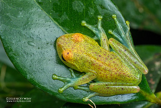 Green bright-eyed frog (Boophis viridis) - DSC_0582
