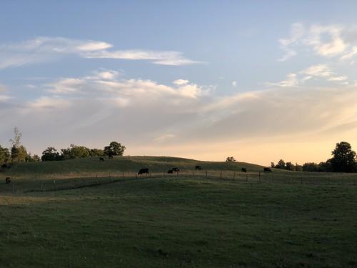 Berkley - cows at sunset
