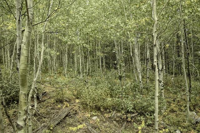 Aspen Grove-Edit