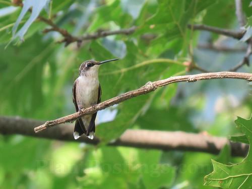 hummer perch