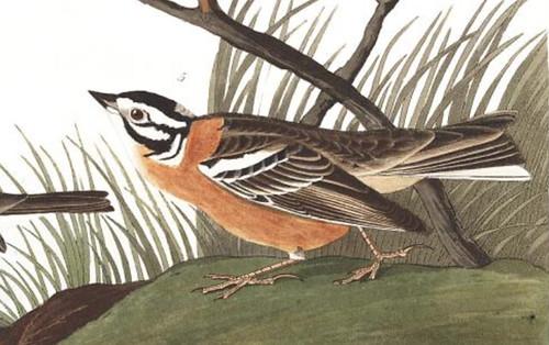 Audubon painted bunting Smith longspur plate 400