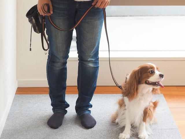正しい選び方をしたリードを装着する練習をしている子犬
