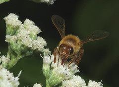 Very Orange Honey Bee DSCF8799