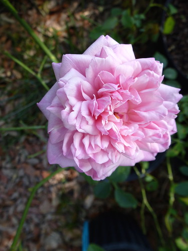rose received as 'Mrs Bosanquet' from ARE