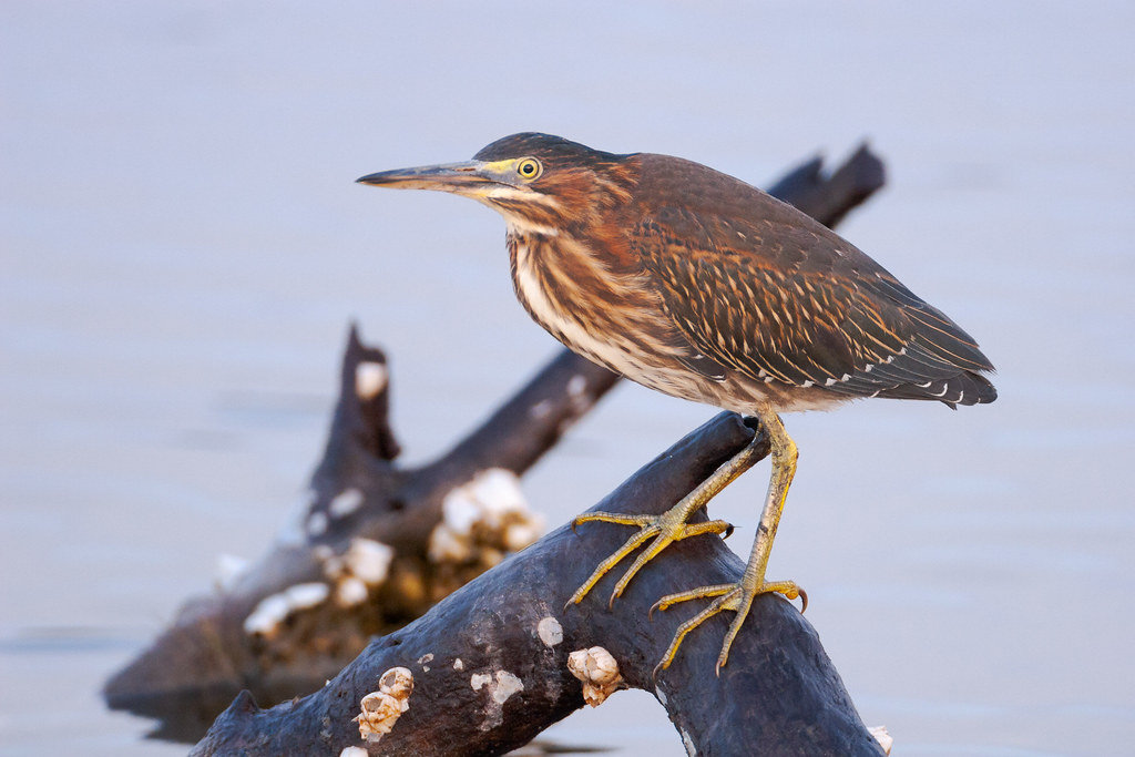 A green heron perches on a barnacle-encrusted log in Huntington Beach State Park in Murrells Inlet, South Carolina