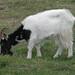 Bagot Goat:    259/365