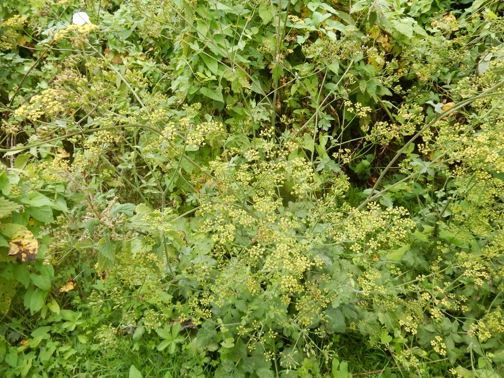 Wild parsnip Tadworth via Headley Heath Circular
