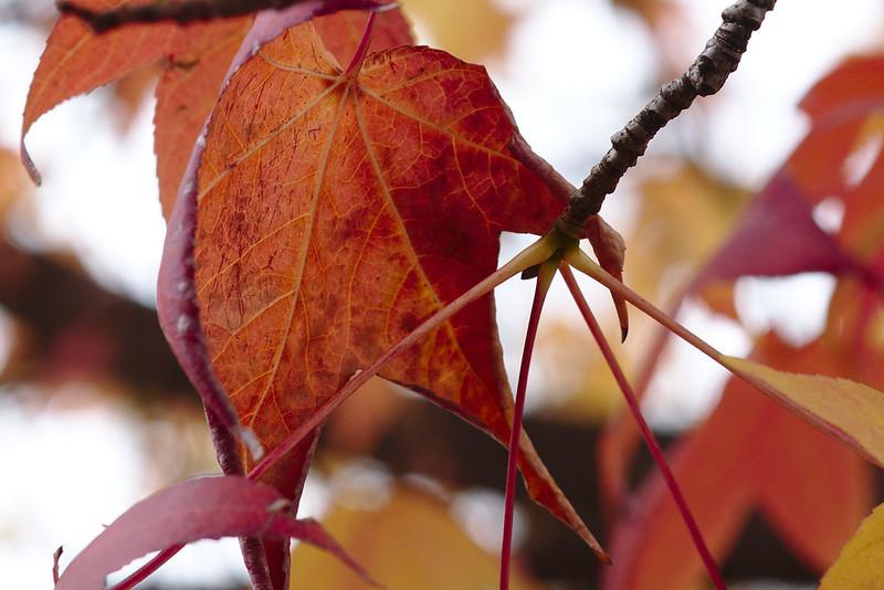Detail, liquidambar leaf