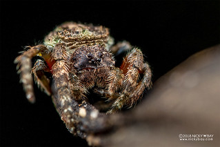 Broad-headed bark spider (Caerostris sp.) - DSC_1689