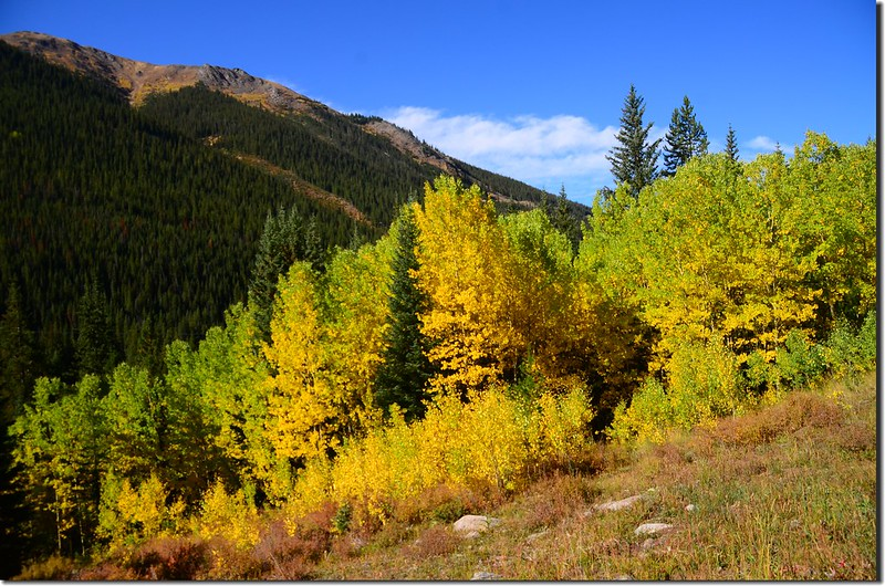 Aspen trees in autumn,  Chihuahua Gulch Trail (5)