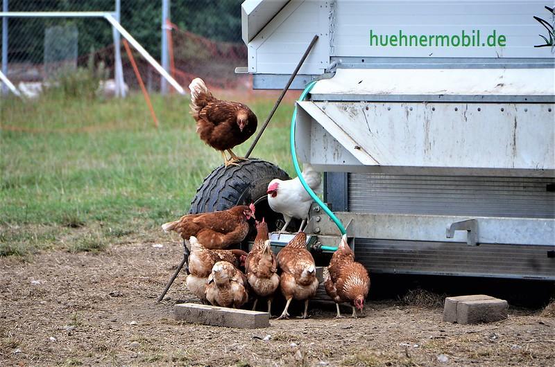 Chickens 25.08 (1)