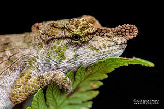 Nose-horned chameleon (Calumma nasutum) - DSC_0544