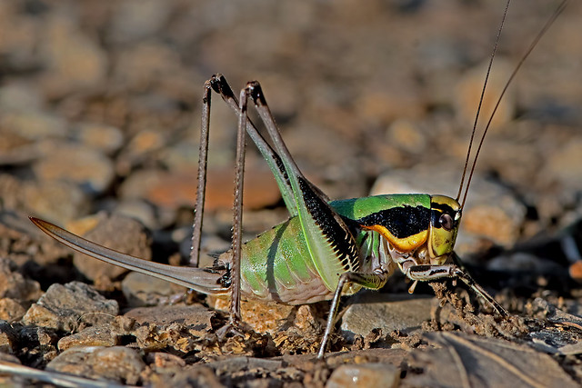Eupholidoptera chabrieri - the Chabrier's Marbled Bush-cricket (female)