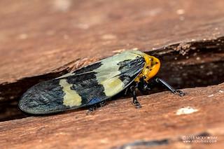 Froghopper (Ptyelus goudoti) - DSC_1216