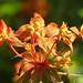 Euphorbia Griffithii 'Fireglow' by celerycelery