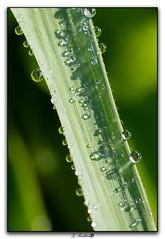 Perles d'eau sur herbe