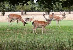 Home Park fallow deer