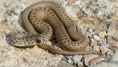 Montpellier Snake (Malpolon monspessulanus) juvenile male (Found by Jean Nicolas)