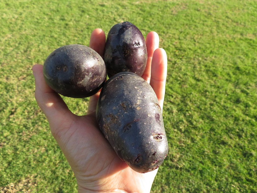 starr-180711-4503-Solanum_tuberosum-purple_variety_harvested_from_veggie_garden-Hawea_Pl_Olinda-Maui