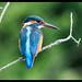 Kingfisher .