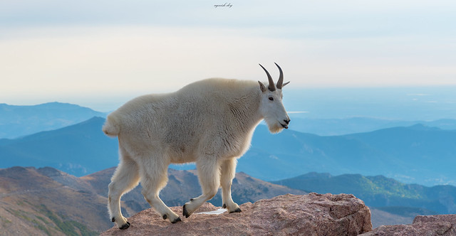 World of a Mountain Goat