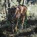 <p><a href=&quot;http://www.flickr.com/people/rjtrixster/&quot;>R.J.Boyd</a> posted a photo:</p>&#xA;&#xA;<p><a href=&quot;http://www.flickr.com/photos/rjtrixster/42351283560/&quot; title=&quot;Cheetah 19-07-18 (3)&quot;><img src=&quot;http://farm2.staticflickr.com/1847/42351283560_333de044e6_m.jpg&quot; width=&quot;240&quot; height=&quot;160&quot; alt=&quot;Cheetah 19-07-18 (3)&quot; /></a></p>&#xA;&#xA;