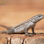 Great Basin Fence Lizard ♀
