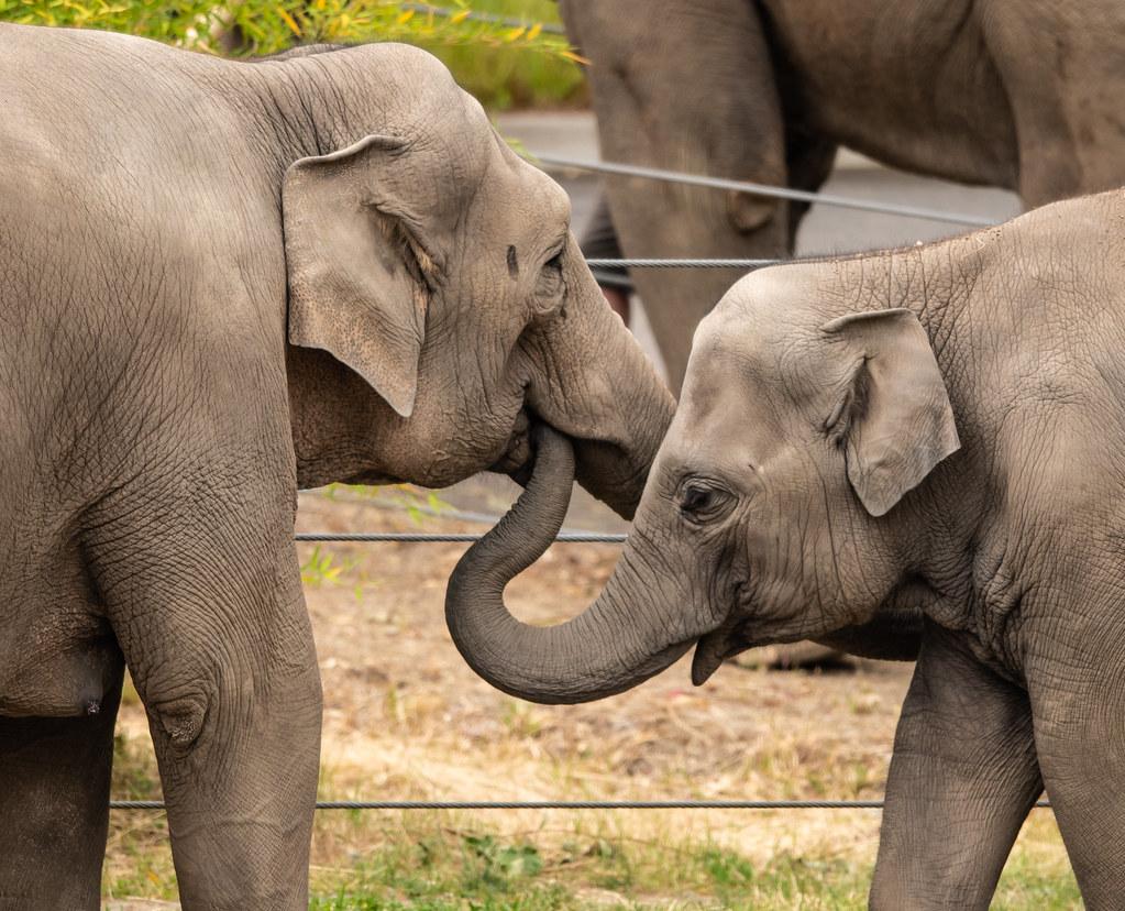 Indian Elephant_13