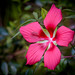 Backyard Swamp Hibiscus 09-08-2018  (3) by Jerry's Wild Life