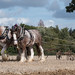Heavy Horses - Ploughing Match (161)
