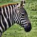 Noahs Ark - Zebras head shot